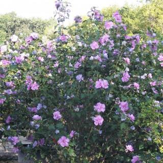 Hibiscus Syriacus гібіскус сірійський Ardens сад город